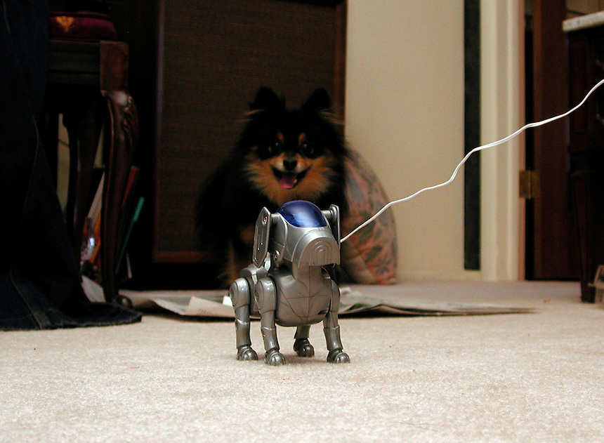 A pomerian is fascinated and terrified at the site of a robotic toy dog.
