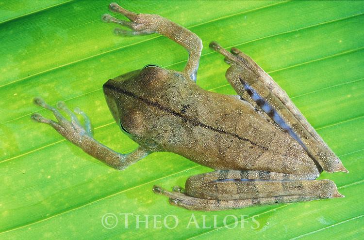 Peru, Tambopata River--- Tree frog (Hyla calcarata) on leaf