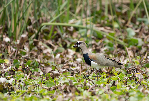 Southern Lapwing, Vanellus chilensis, on the shore of San Pablo Lake, Ecuador