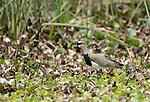 Southern Lapwing, Vanellus chilensis, on the shore of San Pablo Lake, Ecuador