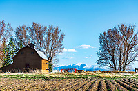 A classic old style barn graces the landscape of this Blackfoot Idaho Farm. The snow capped Caribou Mountains still beyond still hoarding the spring runoff that will make the valley bloom.