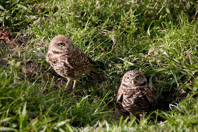 The burrowing owl is a ground dweller, and found in open fields, golf courses, etc.