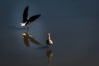 A Black-necked stilt, its wings spread wide, meets its reflection while landing near the Interpretive Center at the Hayward Regional Shoreline, Hayward, California.  It was ignored by the nearby American avocet.