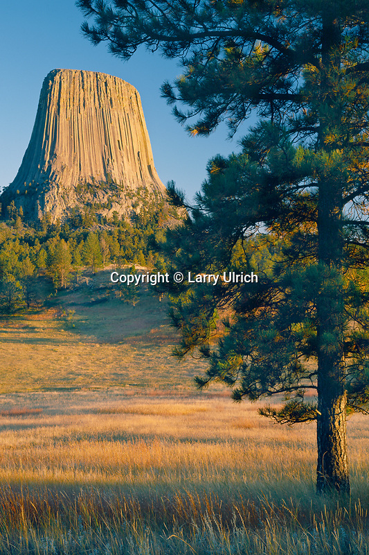Ponderosa pine and Devils Tower<br />