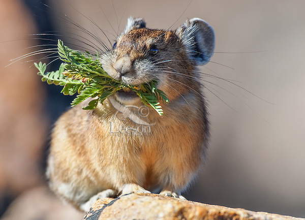 American pika (Ochotona princeps) with mouthful of plant material destine for one of its haypiles--winter food supply.  Beartooth Mountains, Wyoming/Montana.  Summer.  This photo was taken in alpine setting at around 11,000 feet (3350 meters) elevation.  Note teeth.
