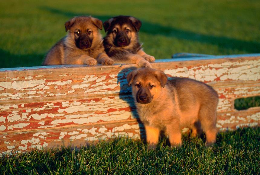 German shepherd puppies.