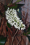 White Tree Orchid