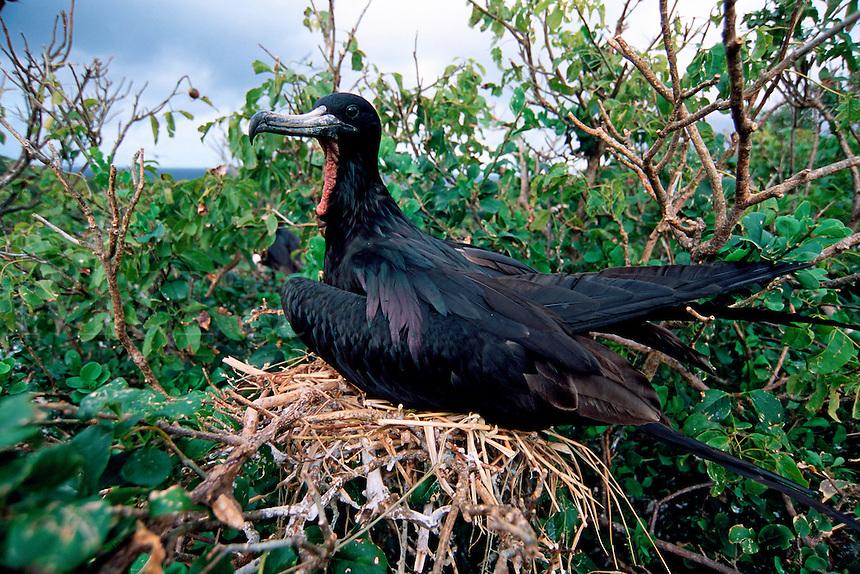 Magnificent frigatebird, Fregata magnificens, nesting, Isabella Is., Mexico, Eastern Pacific