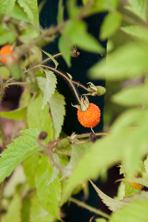 Rubus sumatranus, a Chinese species found growing in the mountainous areas of southern China. White flowers are followed by large, bright orange fruit, which are sweet and are used in local cooking.