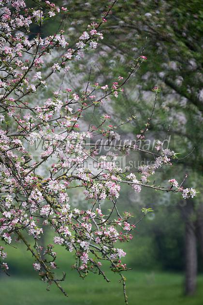 France, Calvados (14), Pays d' Auge, env de Blangy-le-Château,  pommiers en fleurs // France, Calvados, Pays d' Auge, near Blangy le Château,   flowering apple trees