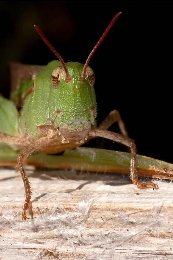 Short-horned Grasshopper