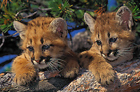 COUGAR young (Felis concolor)..5 weeks old. Rocky Mountains..