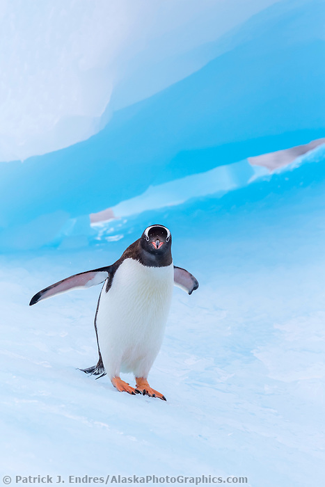 Penguin walks on blue iceberg in Cierva Cove, Antarctica