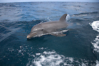 Bottle-nosed Dolphin Tursiops truncatus Length 2.5-4m Bulky, muscular dolphin. Social, found in schools of 3-4 animals. Diet includes fish, crabs and shrimps. Playful at the surface. Adult is greyish-brown overall, darkest above and palest on throat and belly; mid-grey band is sometimes seen on flanks. Beak is rather short and blunt (fancifully bottle-like) with lower jaw extending beyond upper one. Flippers are rather long and pointed and dorsal fin is tall, curved backwards and almost shark-like.