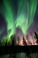 Green arcs of the northern lights swirl over the winter boreal forest, Fairbanks, Alaska
