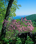 Blue Ridge Parkway, VA<br /> Pink Azalea (Rhododendron nudiflorum) and view of the wooded ridges of the Shennandoah River Valley