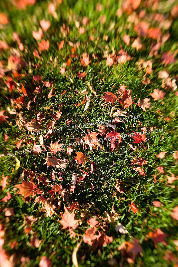 Fall Japanese maple leaves cover the green grass lawn in the fall.