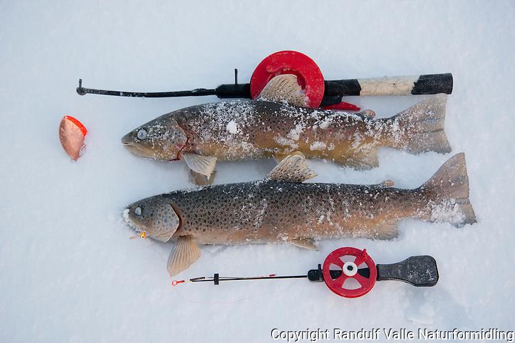 Ørretfangst fra isfiske i Stabbursdalen nasjonalpark. ---- Trout caught during ice fishing.