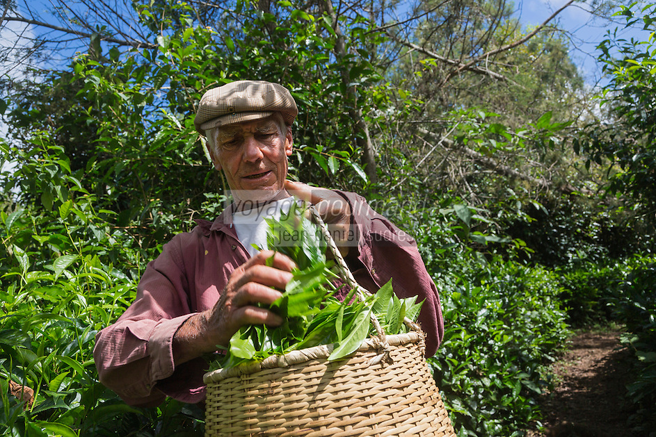 France, &icirc;le de la R&eacute;union, Saint-Joseph, Grand Coude: Plantation de th&eacute;: le labyrinthe en-champ-th&eacute;, cueillette du th&eacute; blanc  //  France, Reunion island (French overseas department), Saint Joseph, Grand Coude, picking white tea <br /> <br /> Auto N&deg;: 2014-114