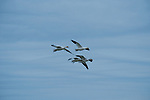 Snow Geese coming in for a landing during spring migration