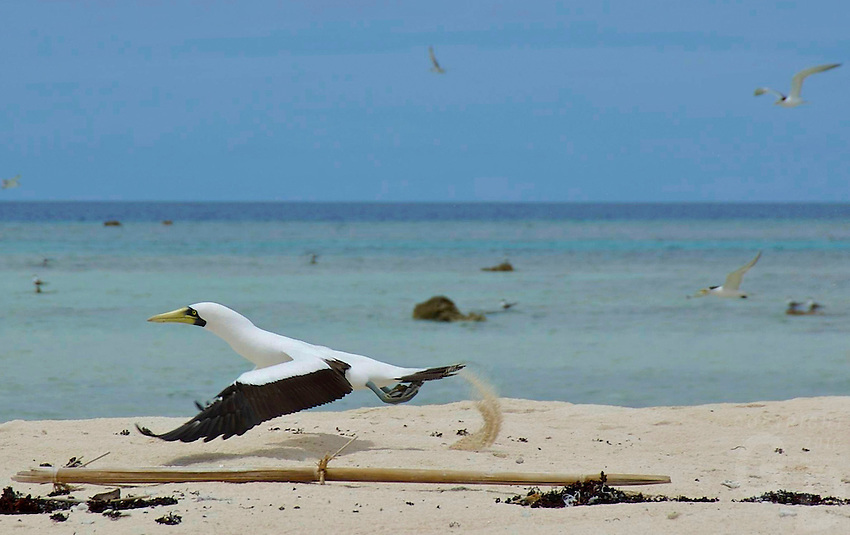 large seabird on an Atoll between Chuuk and Pohnpei in Micronesia, Pacific ocean