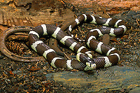 California Kingsnake..Immune to the poisonous bite of rattlesnakes and other venomous snakes and includes them in its diet. Popular as pets..Oregon, Mexico, Utah & Arizona..(Lampropeltis getulus californiae).