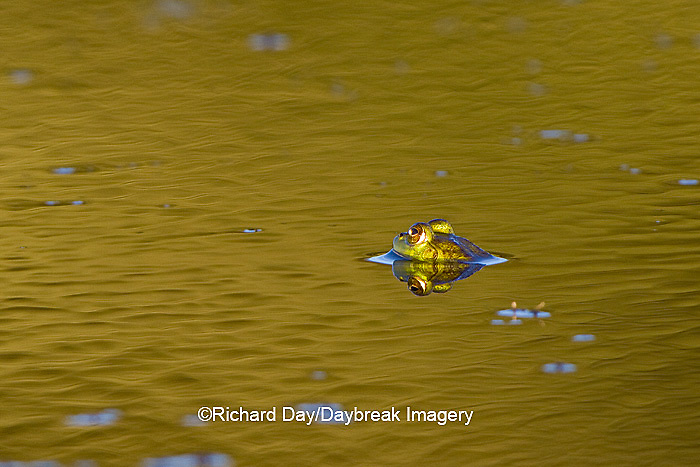 02471-00603 Bull Frog (Rana catesbeiana) in water, Marion Co., IL