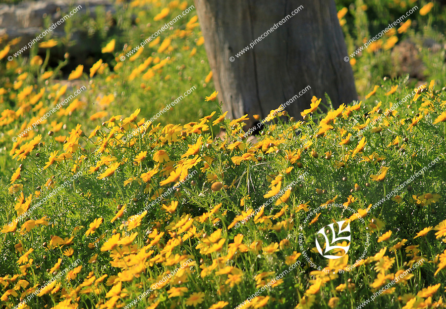 Abundant yellow daisy flowers blossoming in a field in Cyprus.