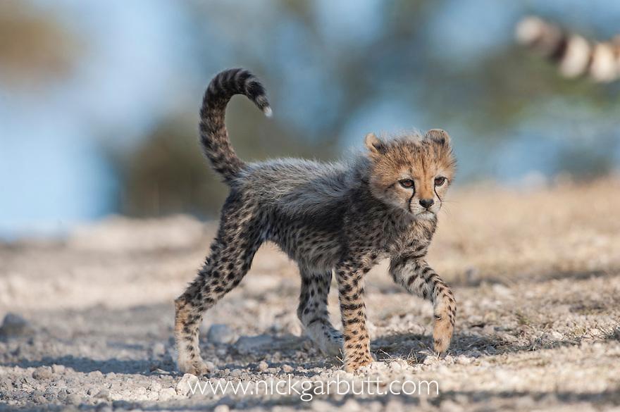 Cheetah cub (Acinonyx jubatus). Long Gully near Ndutu, Ngorongoro Conservation Area, Tanzania. April 2015