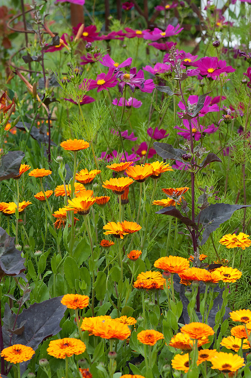 Calendula officinalis 'Indian Prince' and Cosmos bipinnatus 'Dazzler', LOROS Hospice Garden of Light and Reflection, Hampton Court Flower Show 2011.