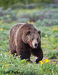 Grizzly bear in wildflowers. Grand Teton National Park, Wyoming.