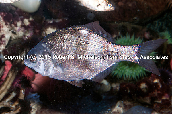Shiner perch swimming left