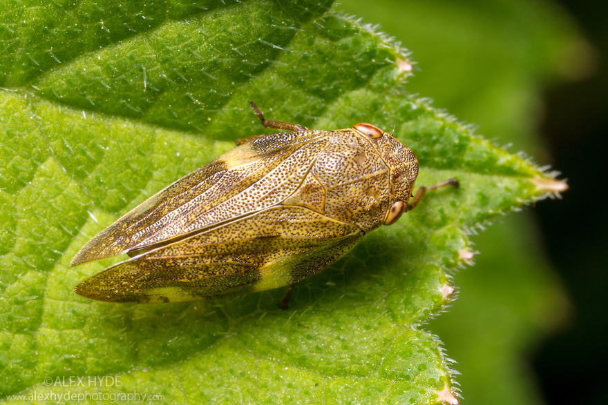 Common Froghopper {Philaenus spumarius}, Peak District National Park, Derbyshire, UK. June.