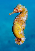 slender seahorse, or longsnout seahorse, Hippocampus reidi, Lake Worth Lagoon, Blue Heron Bridge, Riviera Beach, Florida, USA, Atlantic Ocean