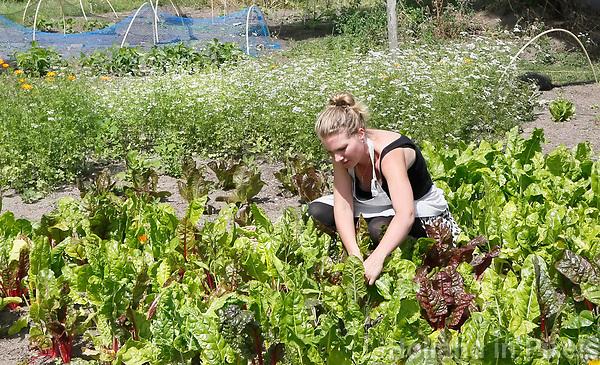 Nederland  Utrecht  2017.  De Voedseltuin Overvecht is een gemeenschappelijke tuin waar we biologische groente, kruiden, fruit en bloemen met en voor Overvechters verbouwen. Iedereen die meehelpt, deelt mee in de oogst. Snijbiet wordt geoogst.   Foto Berlinda van Dam / Hollandse Hoogte