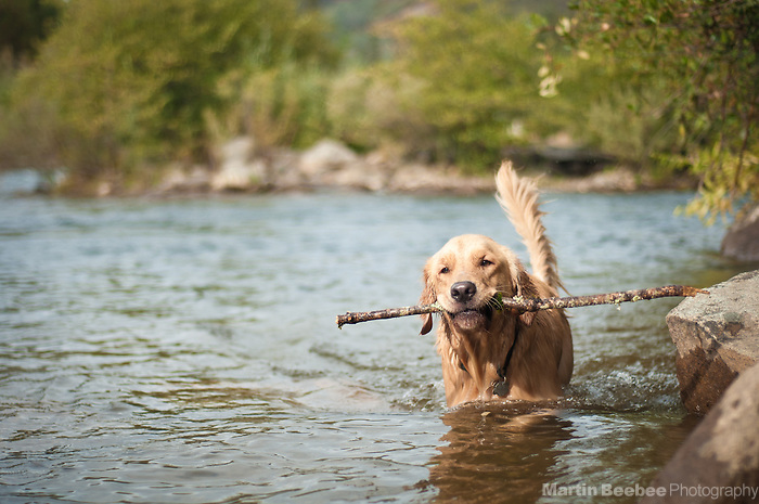 Dog (golden retriever) with a stick standing in the South Fork American River, California