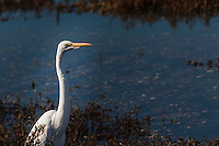 A Great egret eyes the visitors along the wetlands at the Hayward Regional Shoreline along San Francisco Bay's eastern shores.
