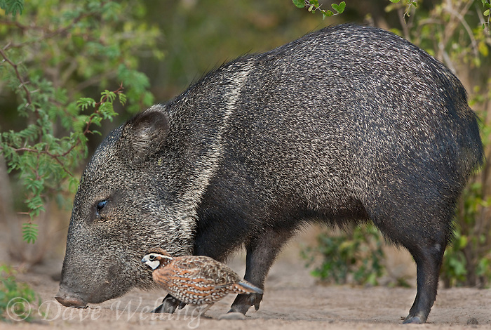 650520205 a wild javelina or collared peccary dicolytes tajacu feeds next to a northern bobwhite colinas virginianus on beto gutierrez ranch hidalgo county texas united states