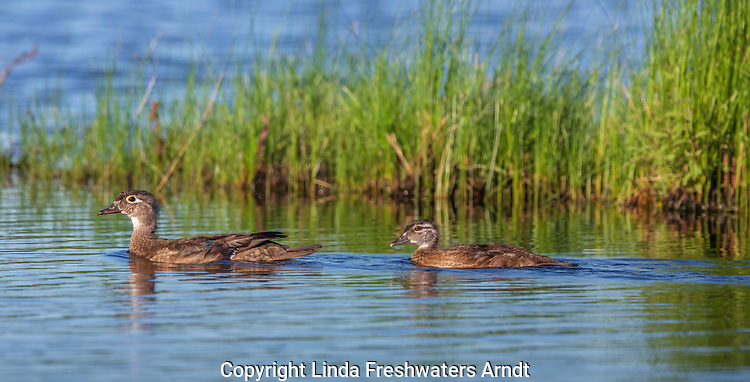 Wood duck hen and duckling swimming in northern Wisconsin.
