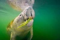 Florida manatee, breathing as it feeds on seagrass, Trichechus manatus latirostris, showing tongue and coarse hairs, bristles or stiff wiskers, a subspecies of the West Indian manatee, Trichechus manatus, Kings Bay, Crystal River, Florida, USA