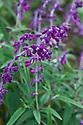 Salvia leucantha 'Purple Velvet', mid June.