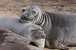 elephant seal weaners