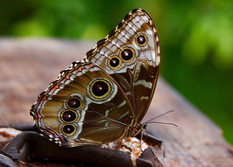 A Blue Morpho feeding upon a banana. The rich tones of its underwing colorng and markings apparent.