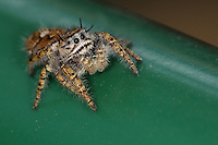 Jumping spider on the top of our garbage container..