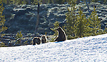 A grizzly bear sow and her two cubs on a leftover patch of snow, June 4, 2011. Photo by Gus Curtis.