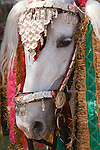 An elaborately costumed horse, Jaipur, India