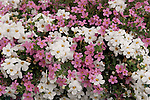'GULLIVER WHITE' AND 'DARK PINK' SHOWERS COPIA OR BACOPA, SUTERA HYBRIDS