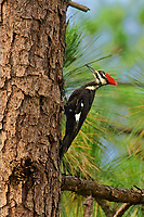 597980027 a wild female pileated woodpecker dryocopus pileatus perches on the trunk of a long leaf pine pinus palustris in the angelina forest in jasper county texas