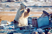 polar bear, Ursus maritimus, scavenging human waste due to the shortage of natural food in the wild as well as the illegal littering showing the human impact on the environment , Churchill, Manitoba, Canada, North Atlantic Ocean