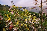 California, Mendocino County, Spring wildflowers near Elk
